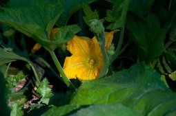 pumpkin flowering