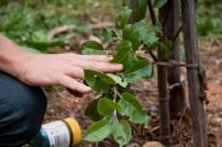 Pear slug causes blistering of the leaves