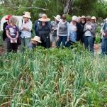 Simon talks about hardneck and softneck garlic varieties