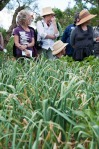 at the garlic crop, ripening well