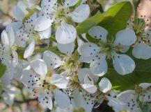 Pear_tree_flowers