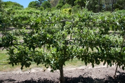 a good form with plenty of fruit, ready to be summer pruned