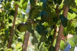 fruit in a cordon