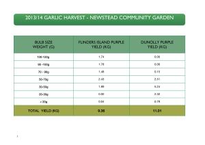 garlic 2013 harvest