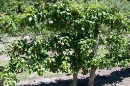 laden pear espalier