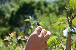 pear and cherry slug - damage (and slug)