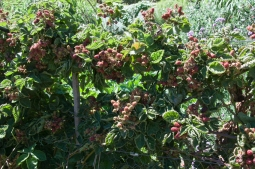 thornless blackberry trained and pruned (use tip fruiting method)