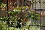 Espaliered pear - trimmed verticles, tied down laterals, kept permanent fruiting spurs
