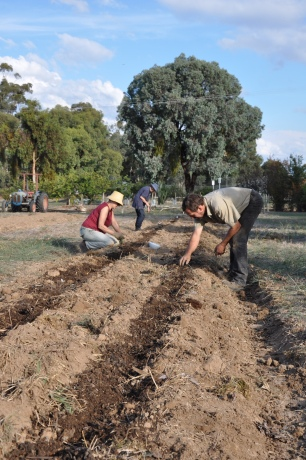 planting into a furrow of BD compost, lime and composted sheep manure