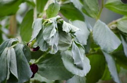 signs of july - frosted broad beans