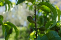 signs of nectarine promise