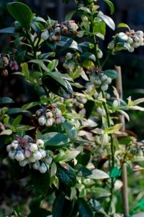 hope for blueberry harvest