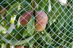 peach - rutherglen bug