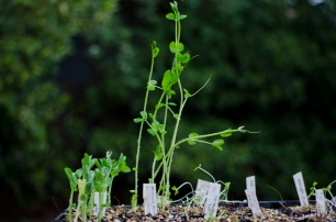greenfeast peas on left and very gangly snow peas, and leafy greens