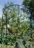 peach - cutting the tree back to fit under shade and netting structures and low enough to pick