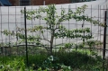 espalier cocktail pear - we've just about got the basic structure established, possiblly one more side branch to the right next season, then it's a matter of cutting back all vertical growth (vegetative) and encouraging horizontal growth (fruiting spurs) It doesn't look like the textbooks, but trying to work with the tree's inclination, and ours...