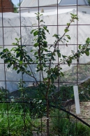 coes golden drop plum - pruning to a fan shape; plums fruit on new (one year old) wood and also produce spurs