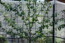 angelina plum - the fan shape is just about established, cutting back any outward and vertical growth