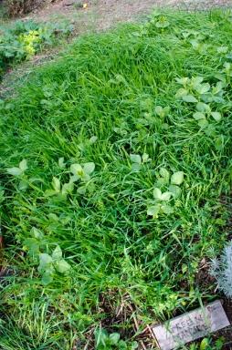 green manure; broads, lentils, wheat