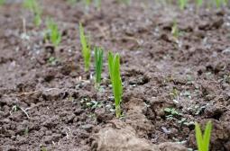 garlic, and weeds, pushing through