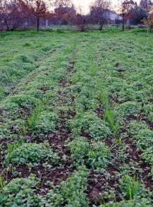 weeds ... and garlic