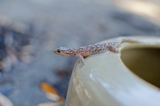 gecko in the garden
