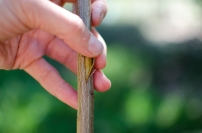 Steps to bud a different variety onto a rootstock or existing tree